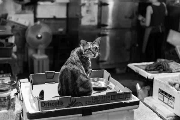 Hong Kong Cat
